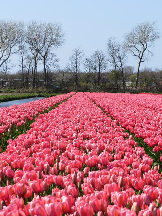 tulipanmarker i holland
